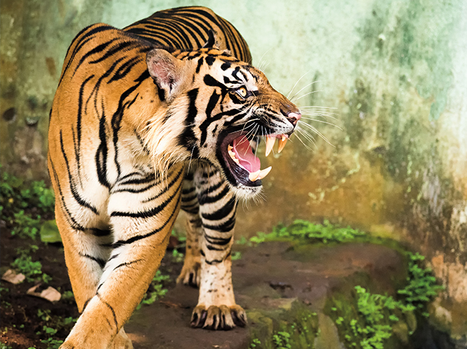 Tiger Talk Life Science Article for Students | Scholastic